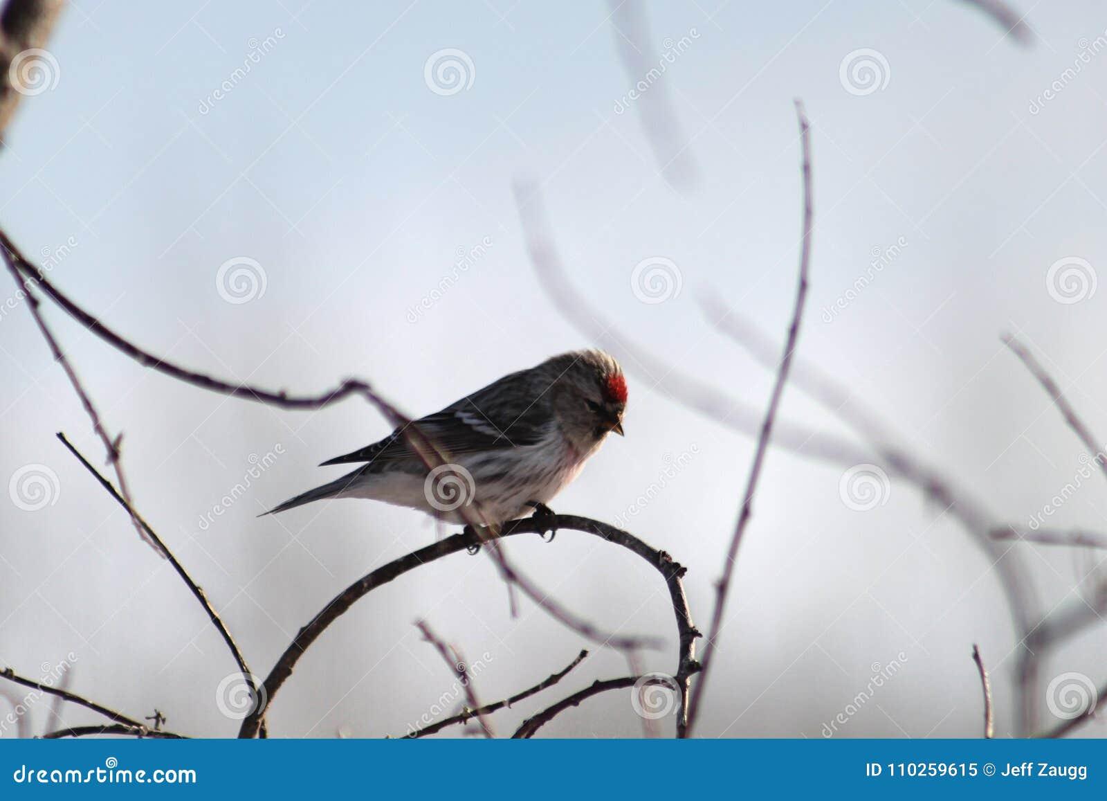 Redpoll comune su un ramo