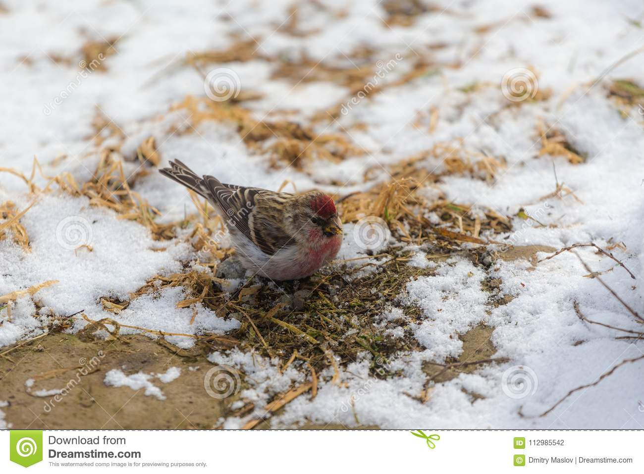 Redpoll searches for food