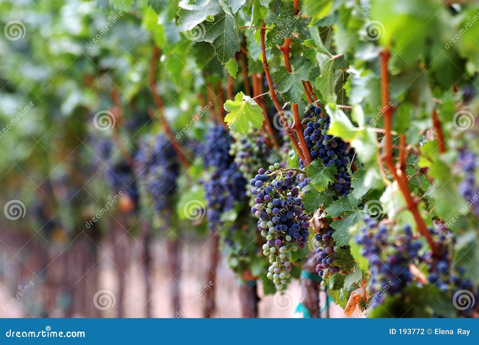 Reds som ripening vingården