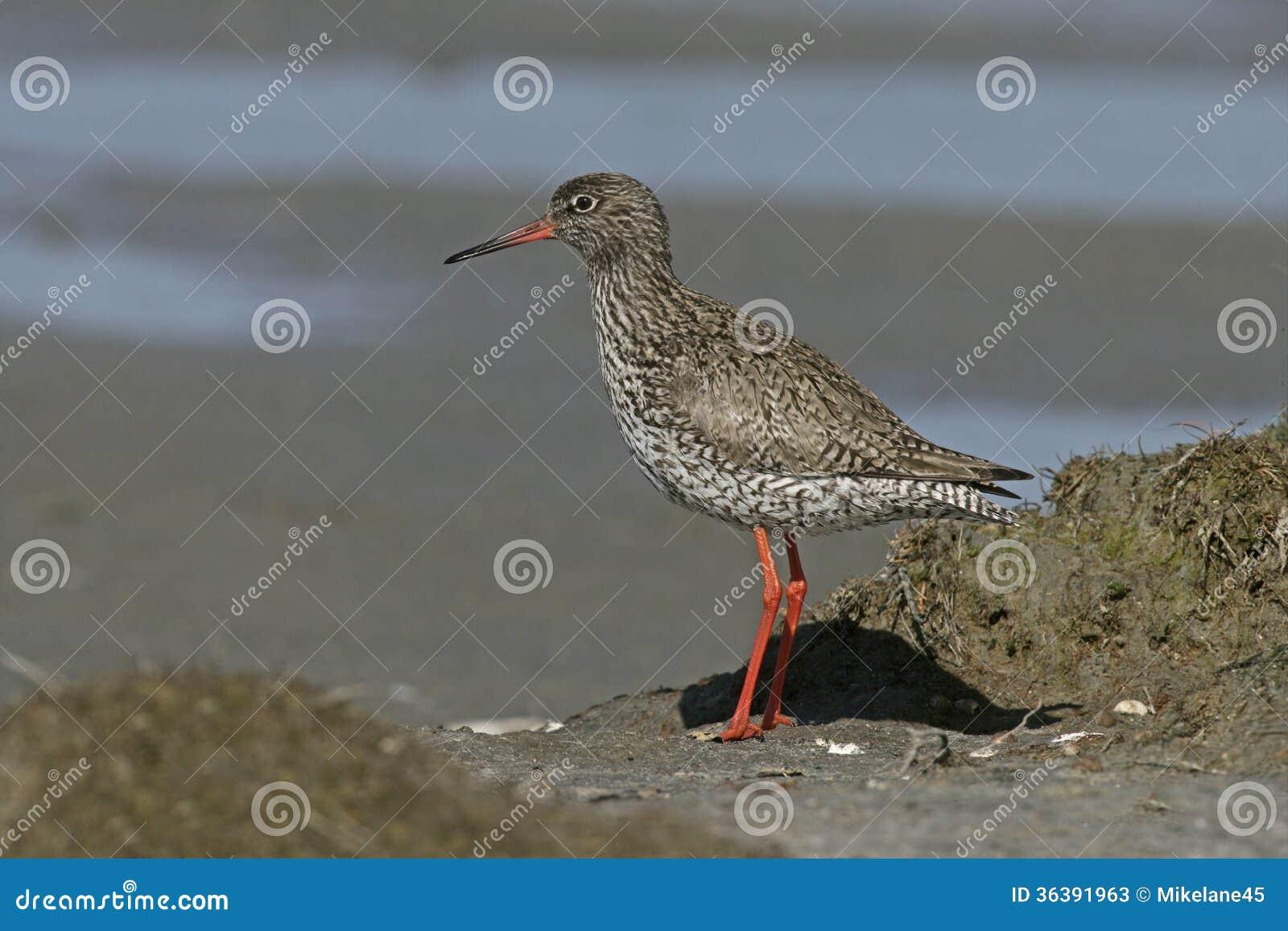 Redshank, Tringa totanus