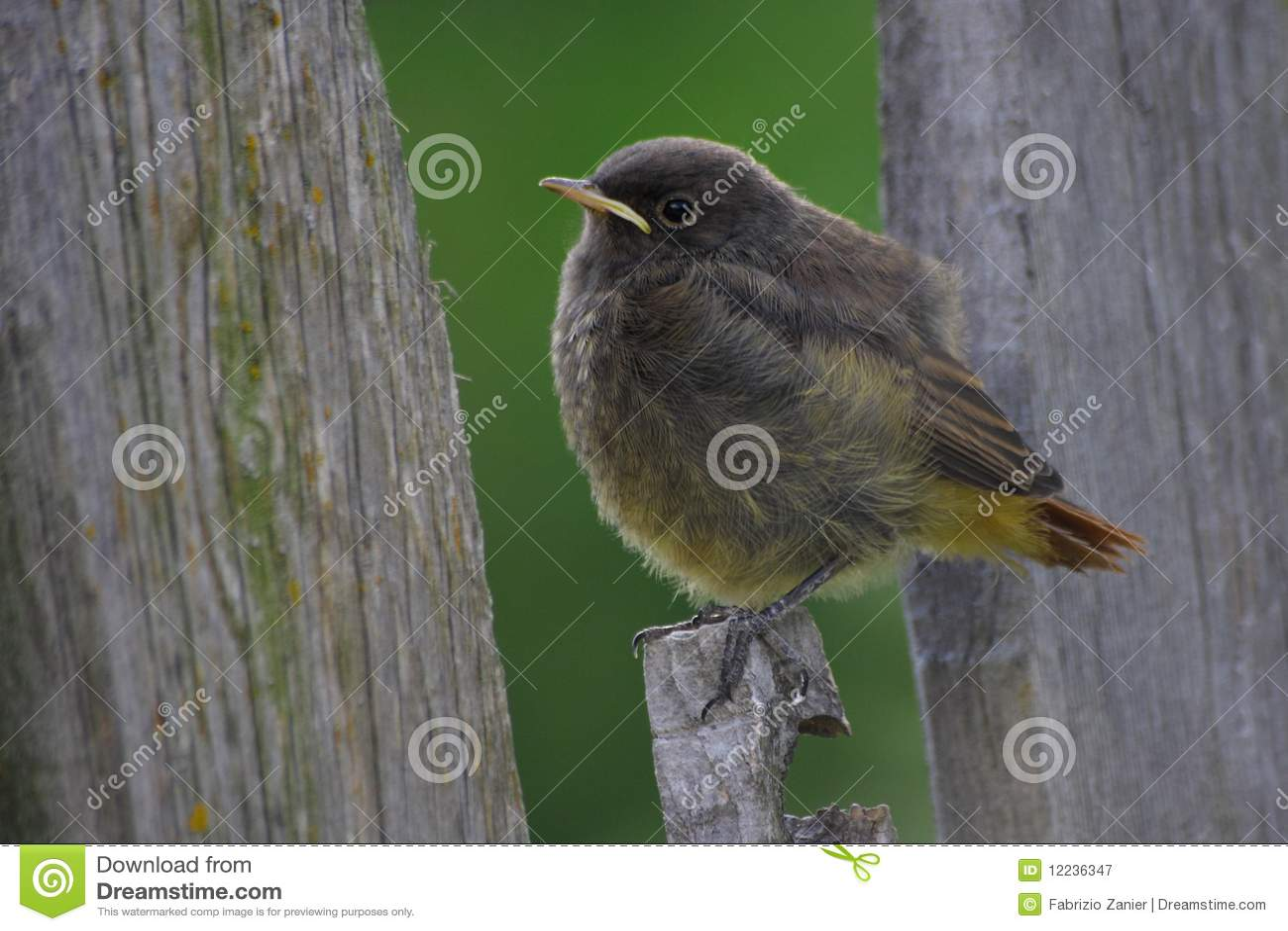 Redstart младенца