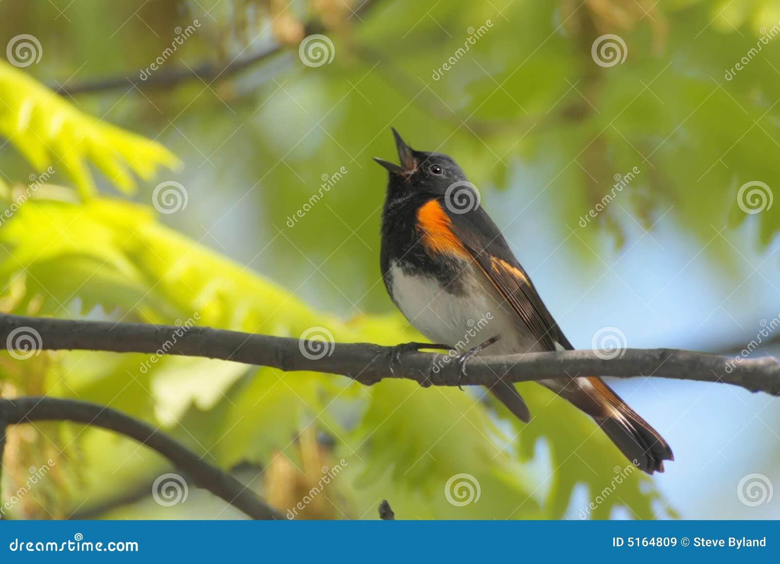Redstart americano que canta