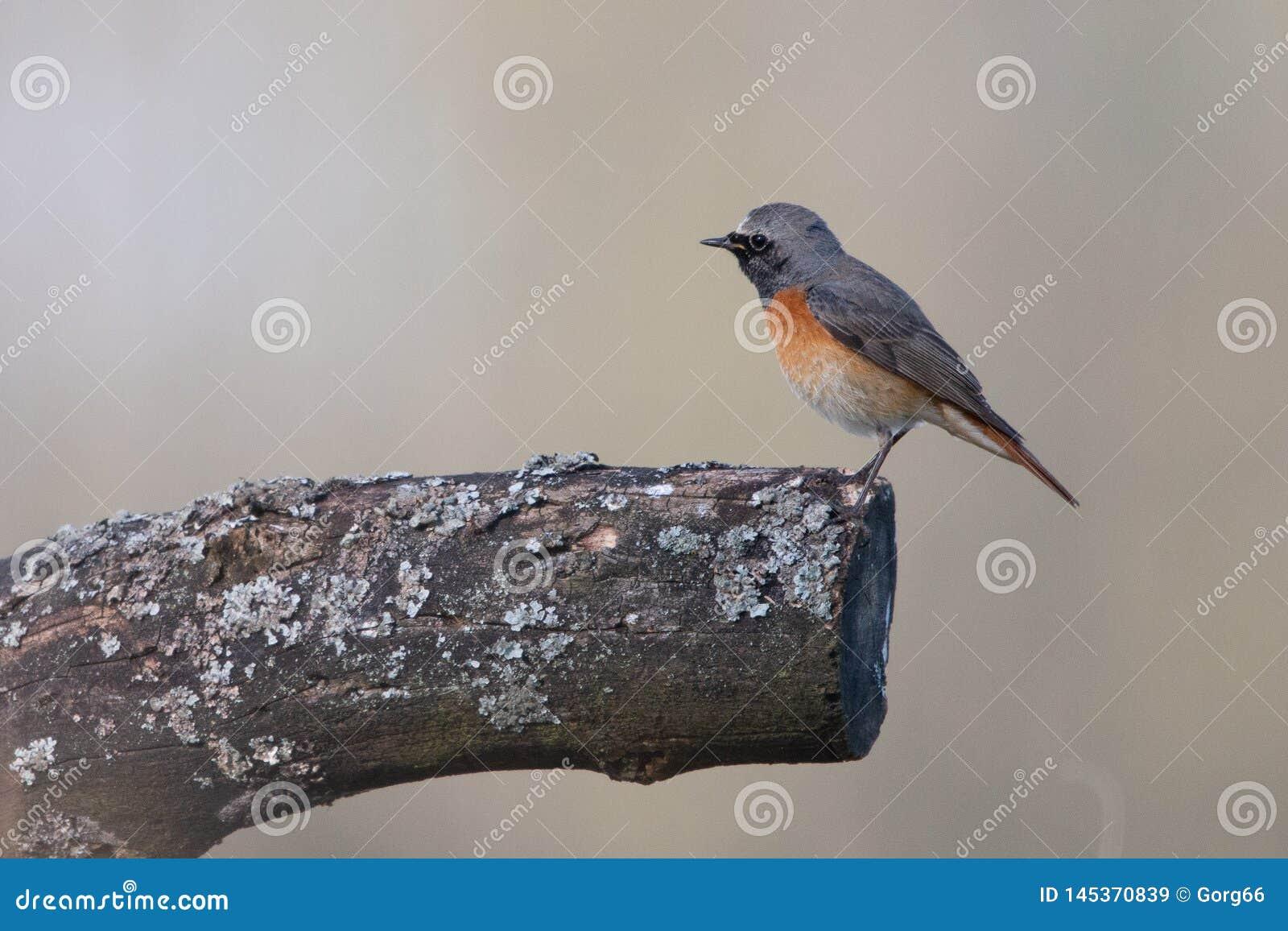 Redstart común, pequeño pájaro de la canción
