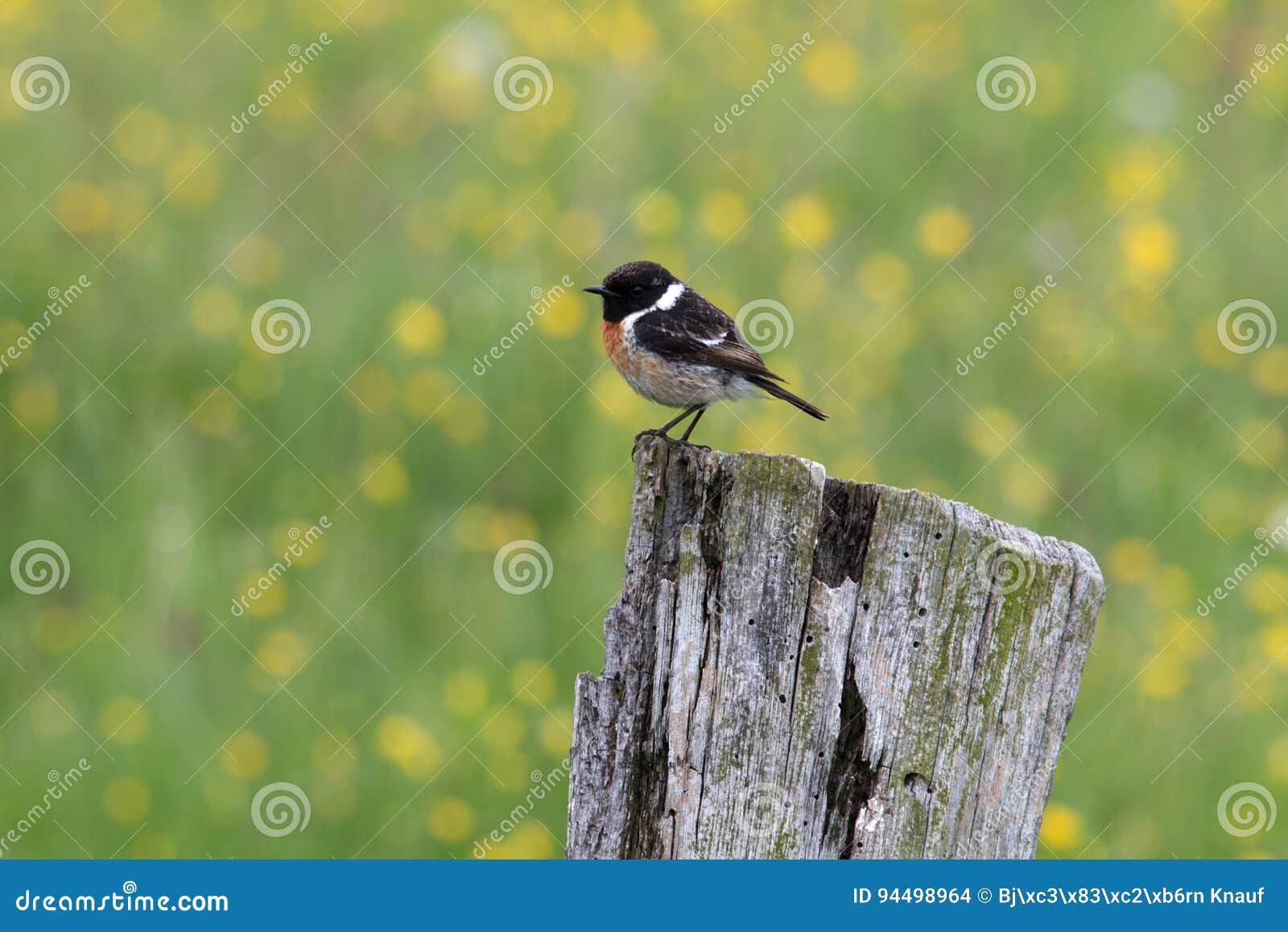 Redstart joven