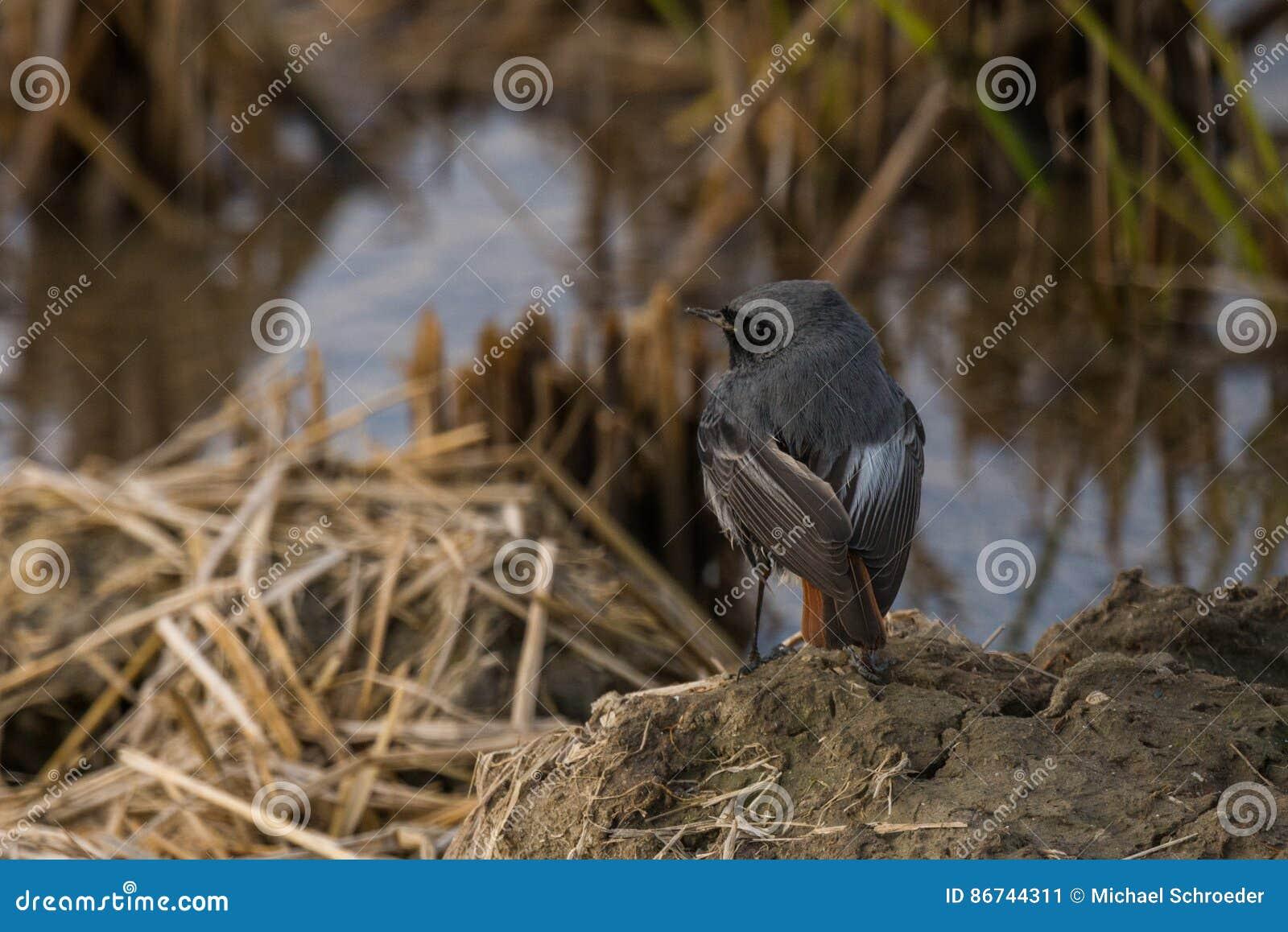 Redstart negro joven