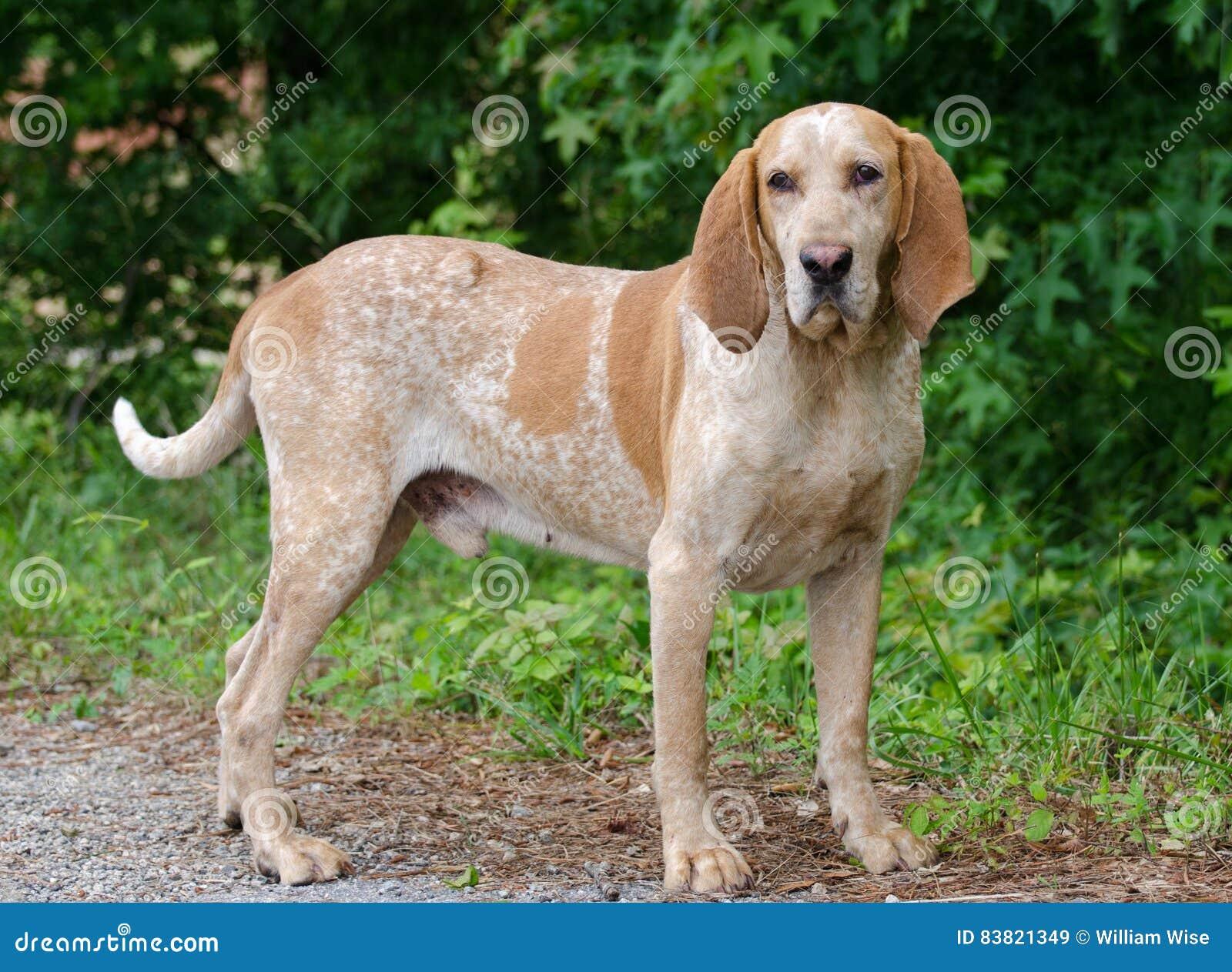 Redtick猎浣熊的猎犬