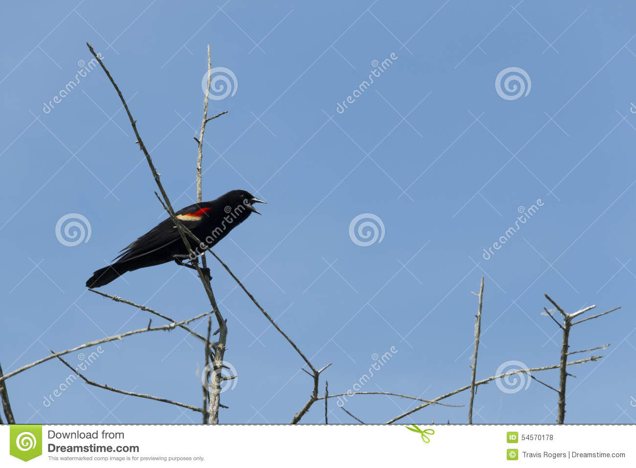 Redwing Black Bird stock photo  Image of clear, squawking