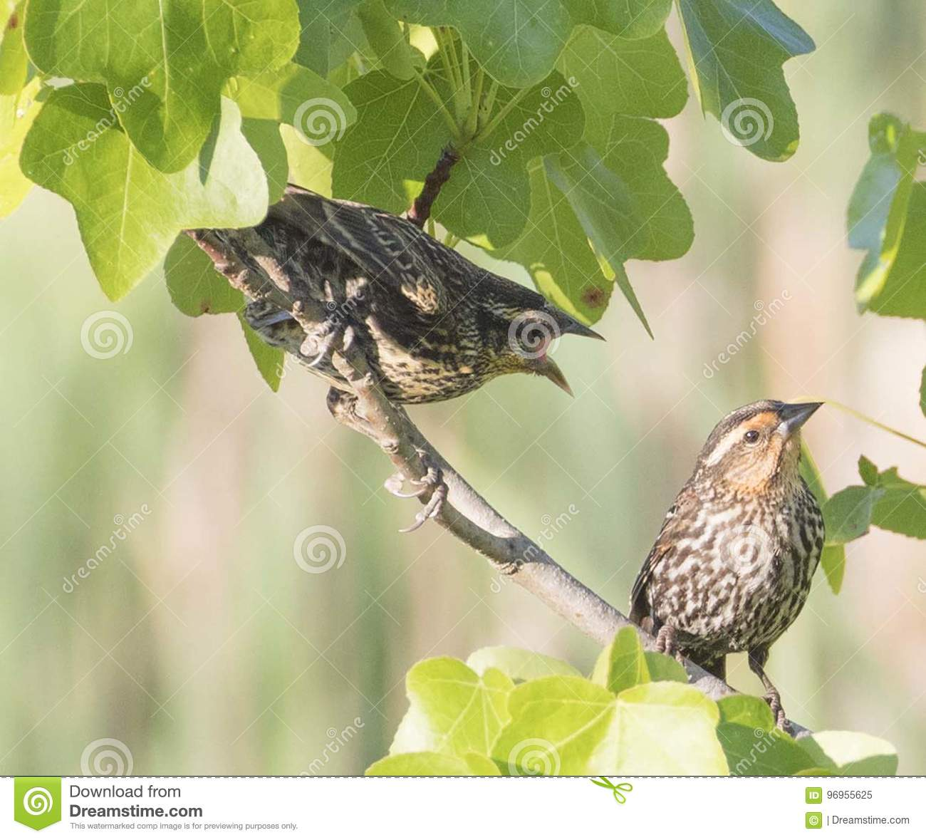 Redwinged Blackbird Fledgling Begs Mother for Food