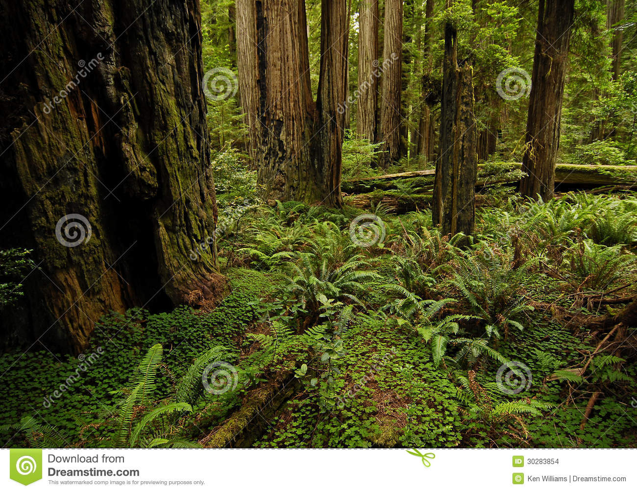 Redwood Forest Stock Images Image 30283854