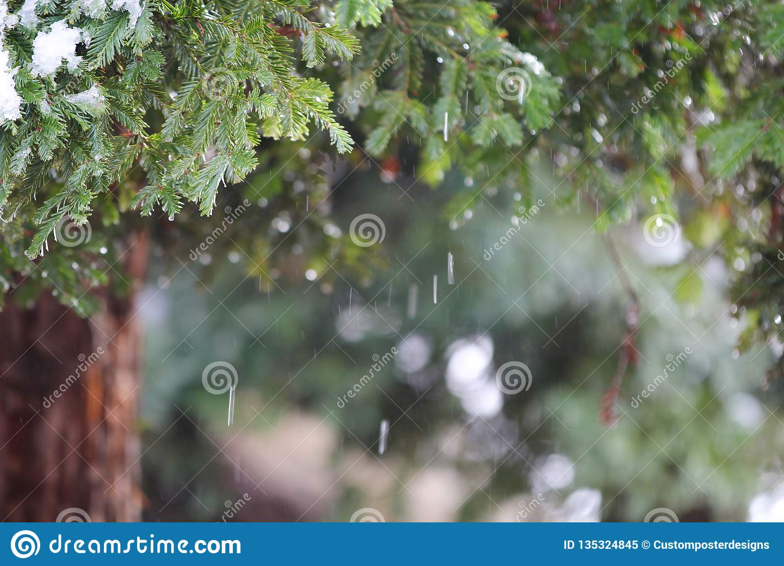 Redwood tree with falling snow
