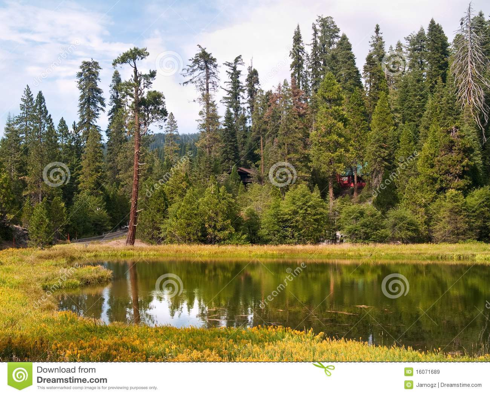 Redwoods do bosque de Mariposa