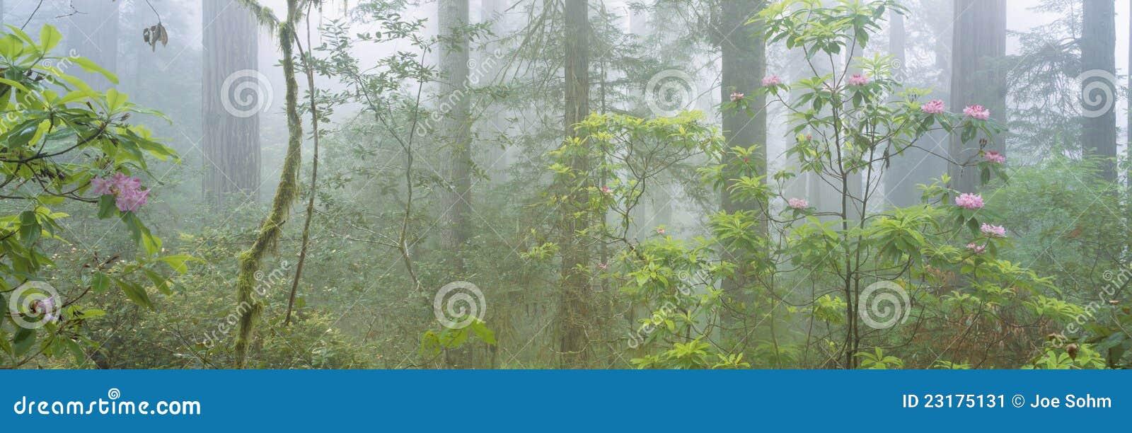 Redwoods do Velho-crescimento