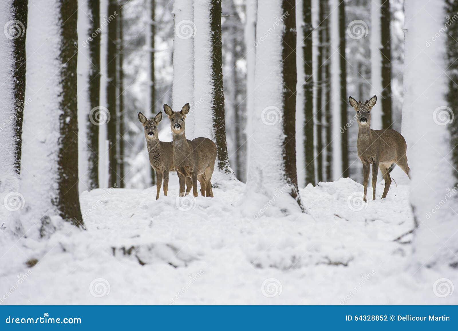 Reeën in de sneeuw tijdens de winter