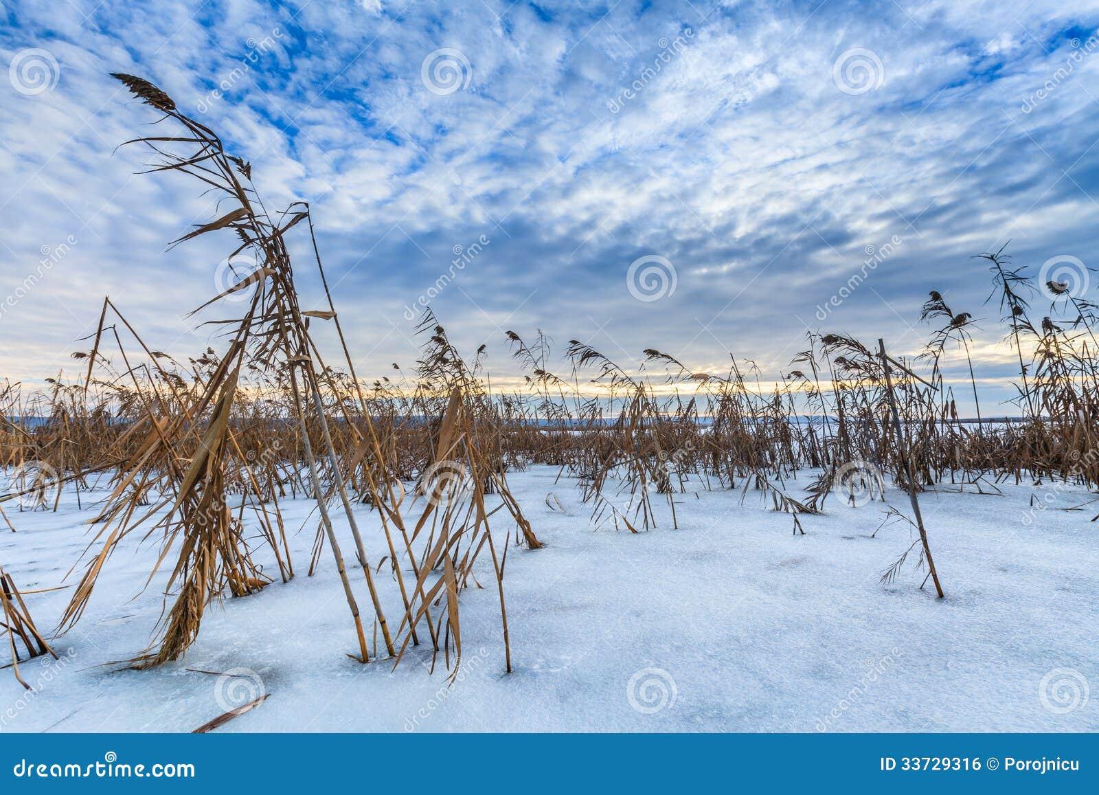 Reed в зиме