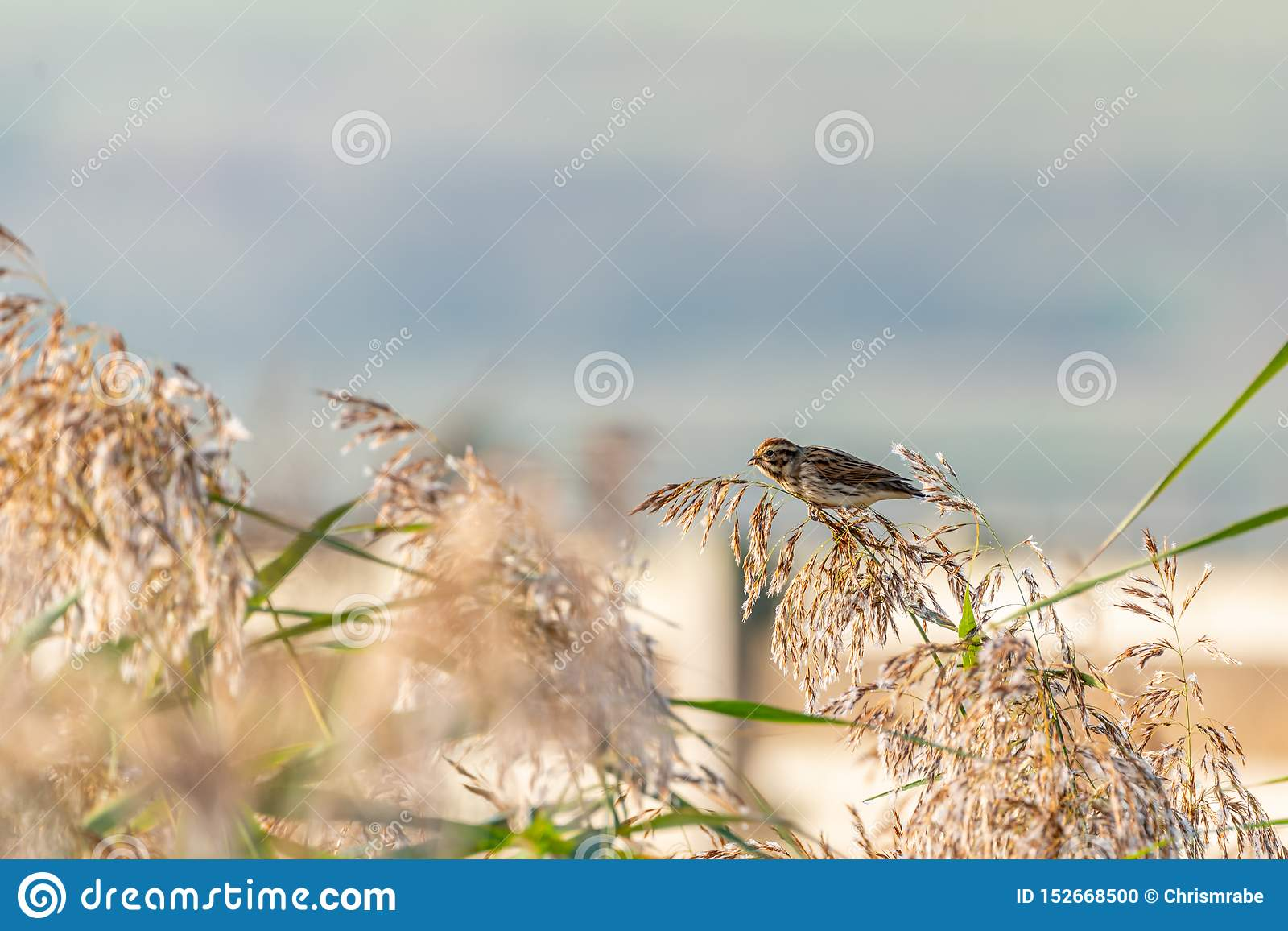 Reed Bunting Emberiza Schoeniclus Taken In The Uk Stock Photo Image Of United Marsh 152668500