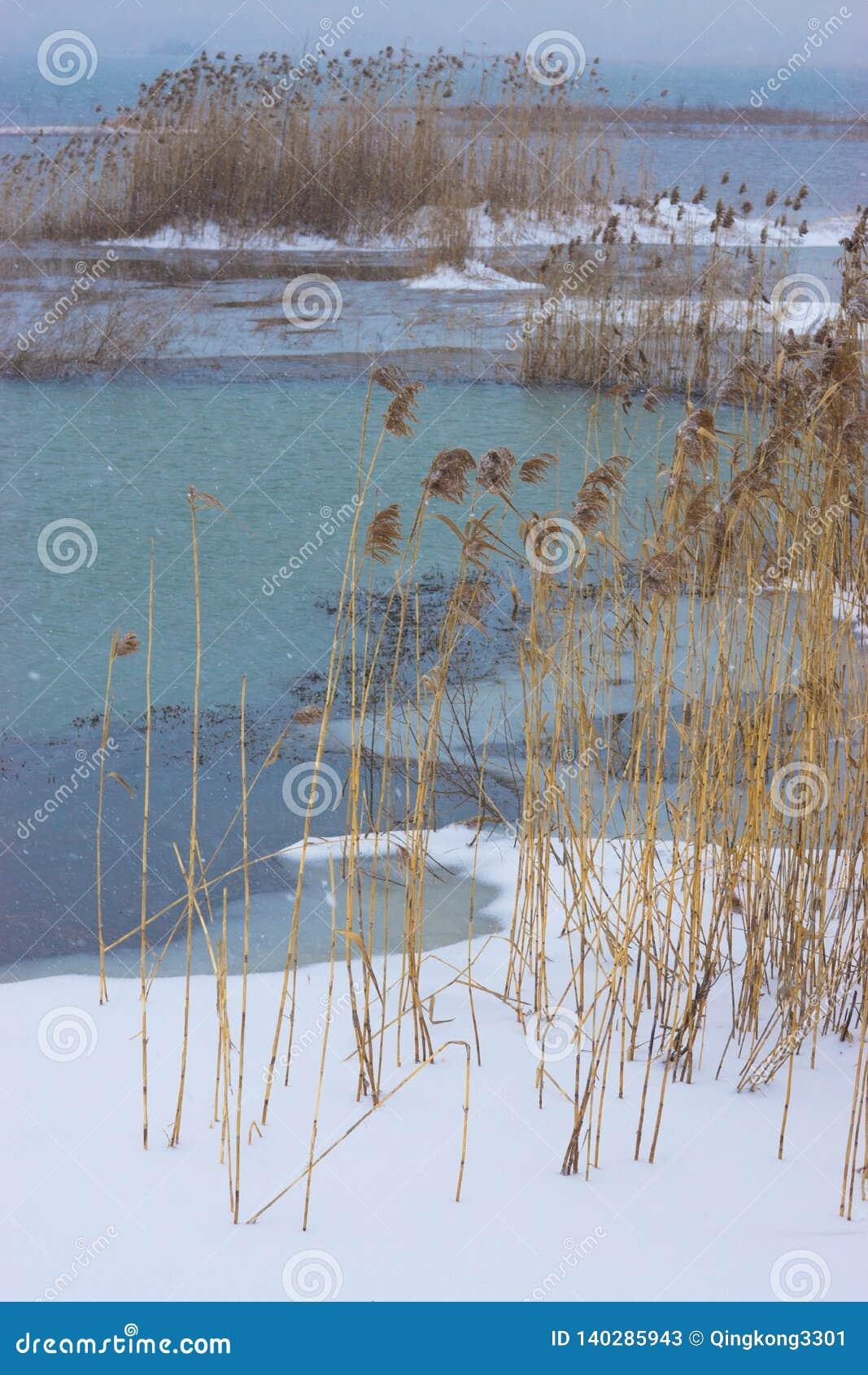 Reed en viento y nieve