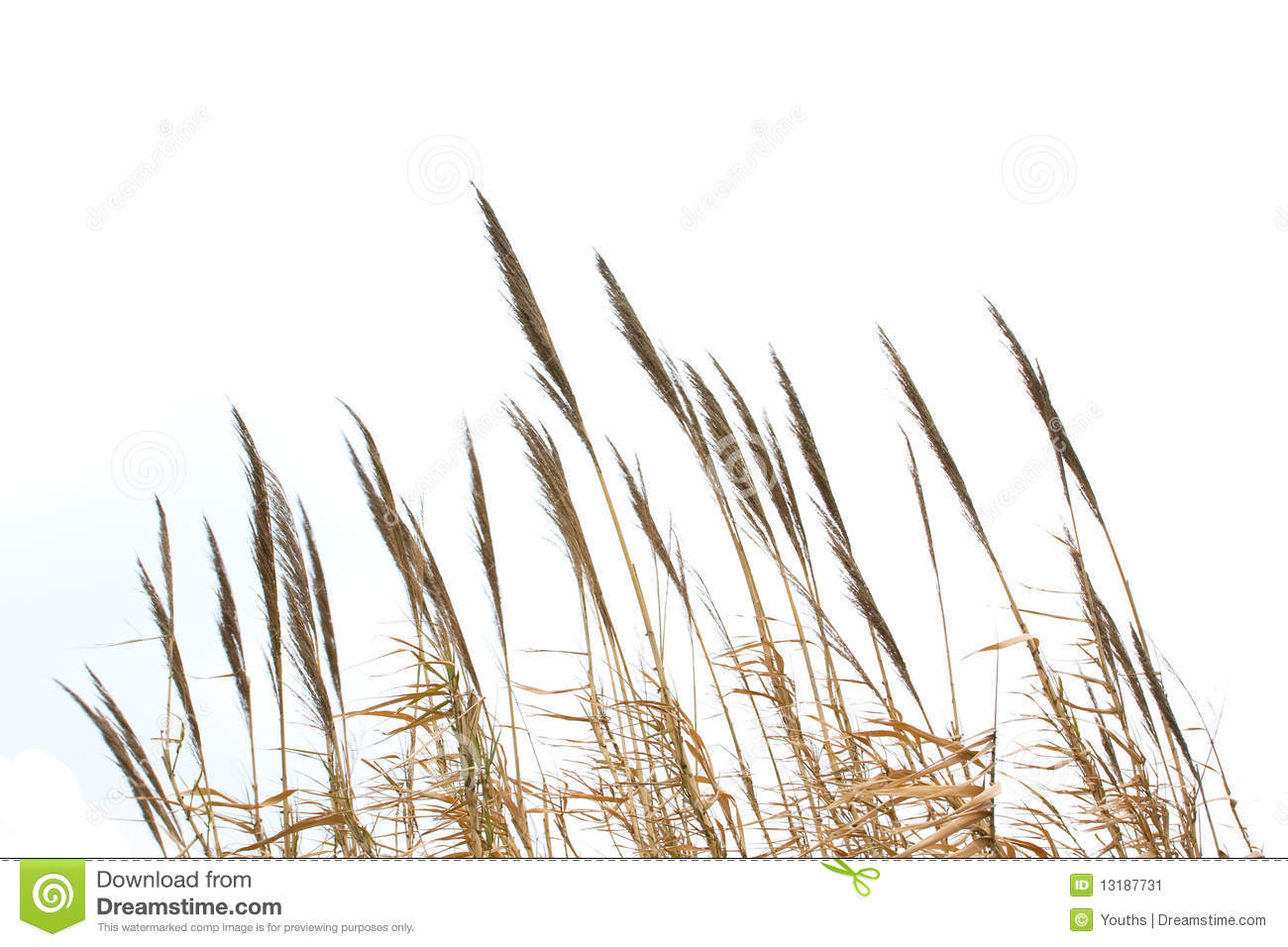 reed grass isolated on white background stock image free january clip art for 2018 free january clip art pictures