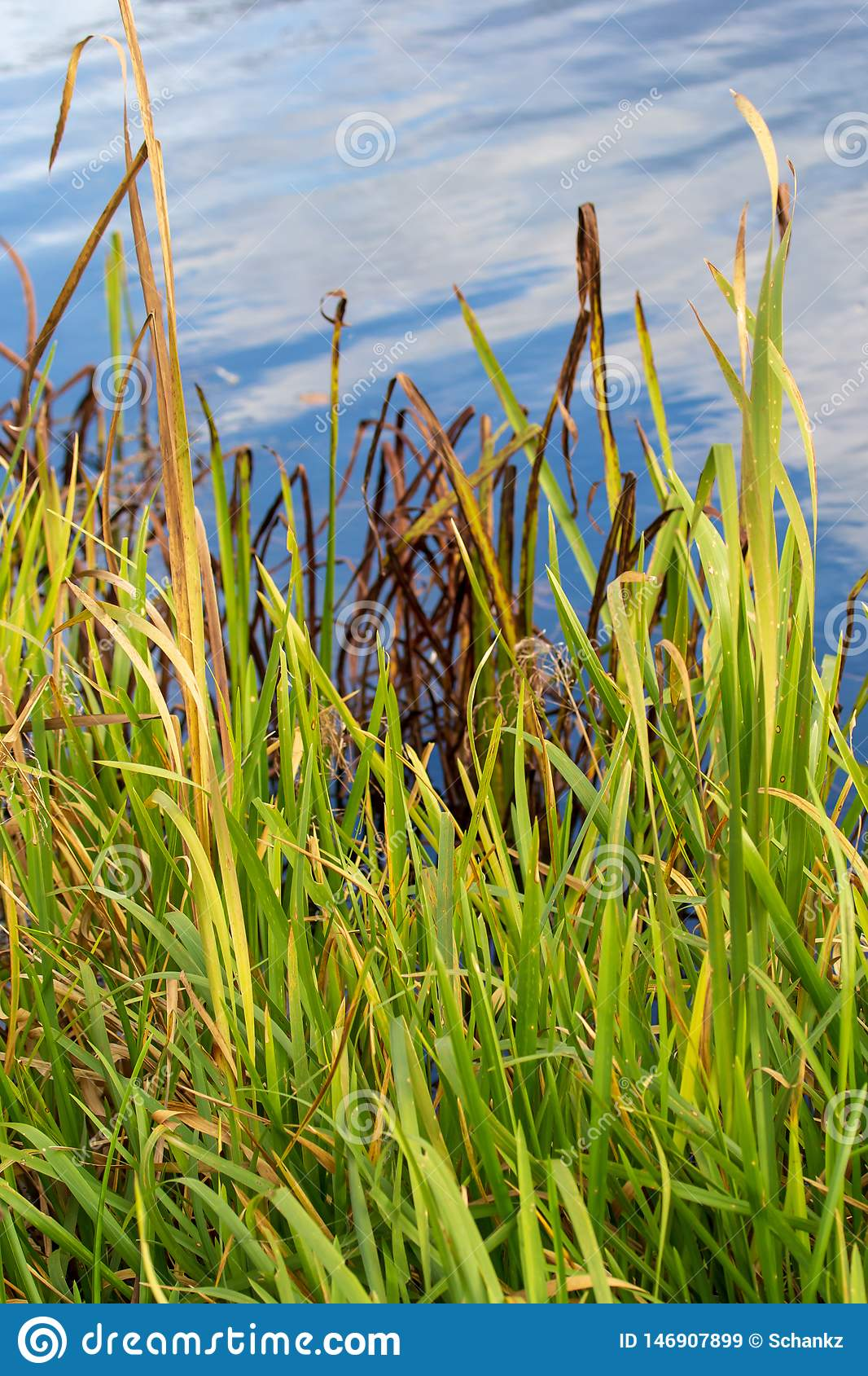 Reed grows on a pond in autumn