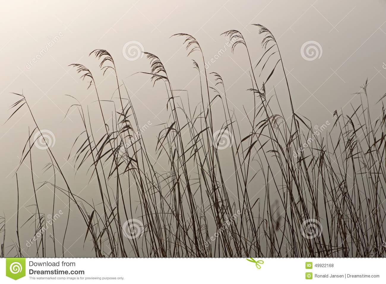 Reed in the light of the rising sun