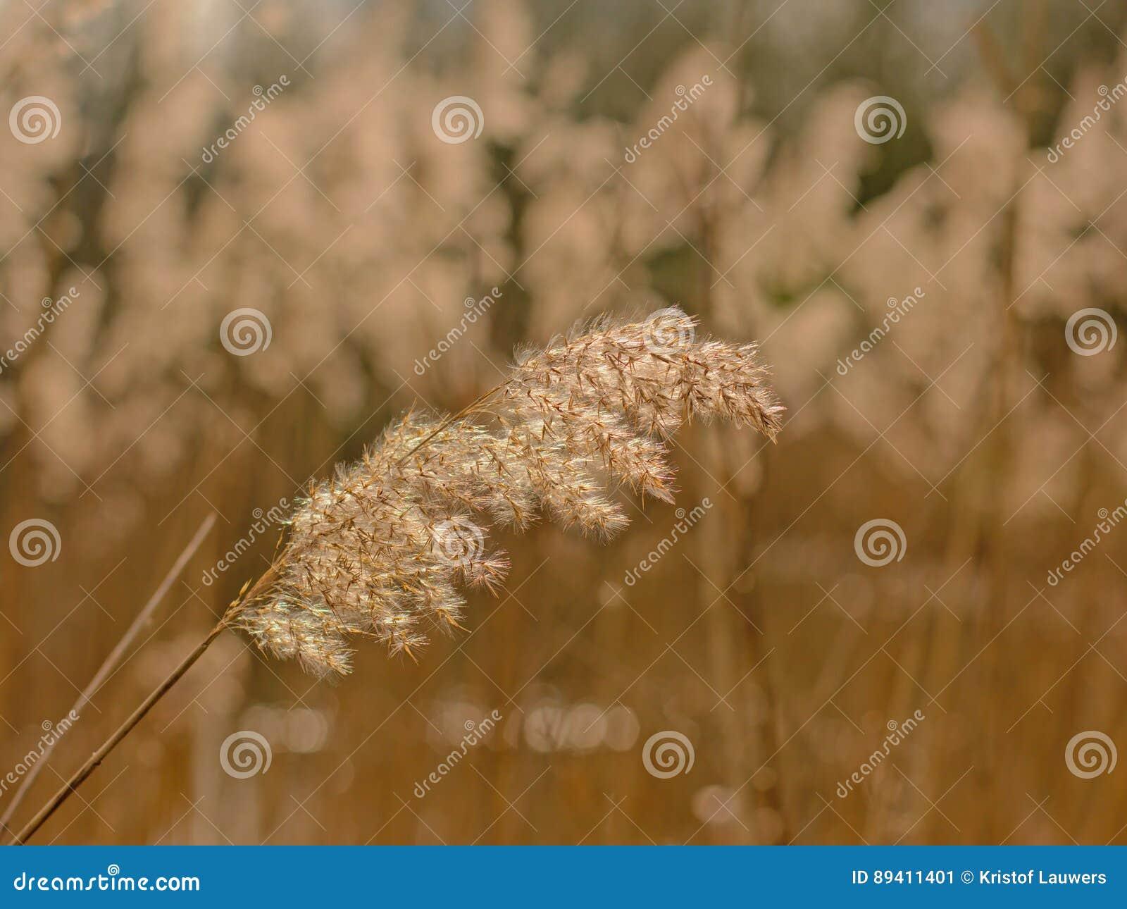 Reed, Poaceae do foco seletivo