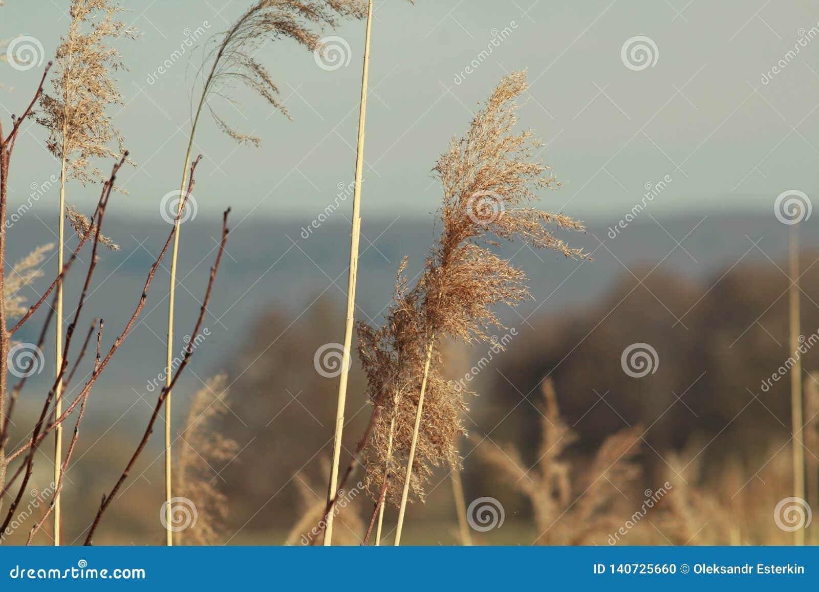 Reed près de rivière d Elz