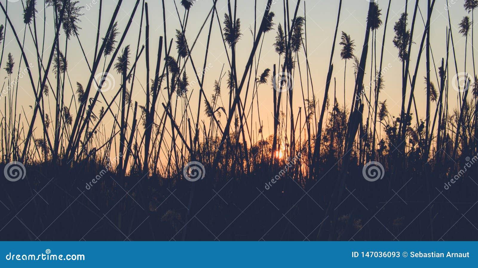 Reed sur le fond du coucher du soleil