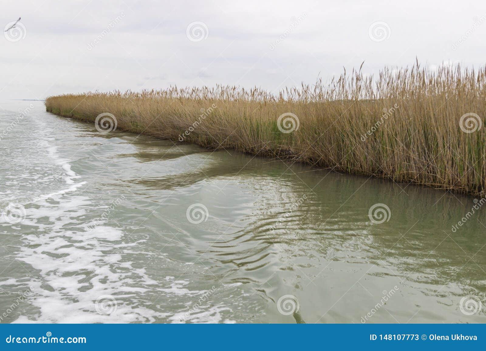 Reed wächst auf dem Ufer des Sees Spur auf dem Wasser vom Boot