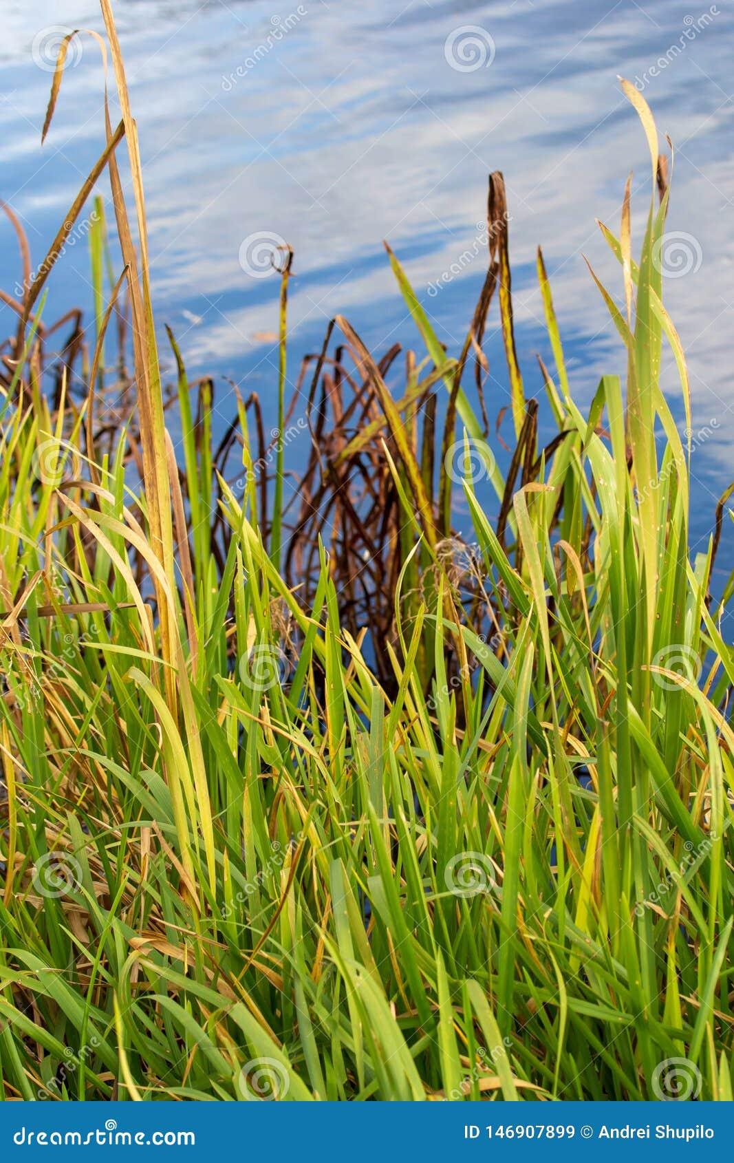 Reed wächst auf einem Teich im Herbst