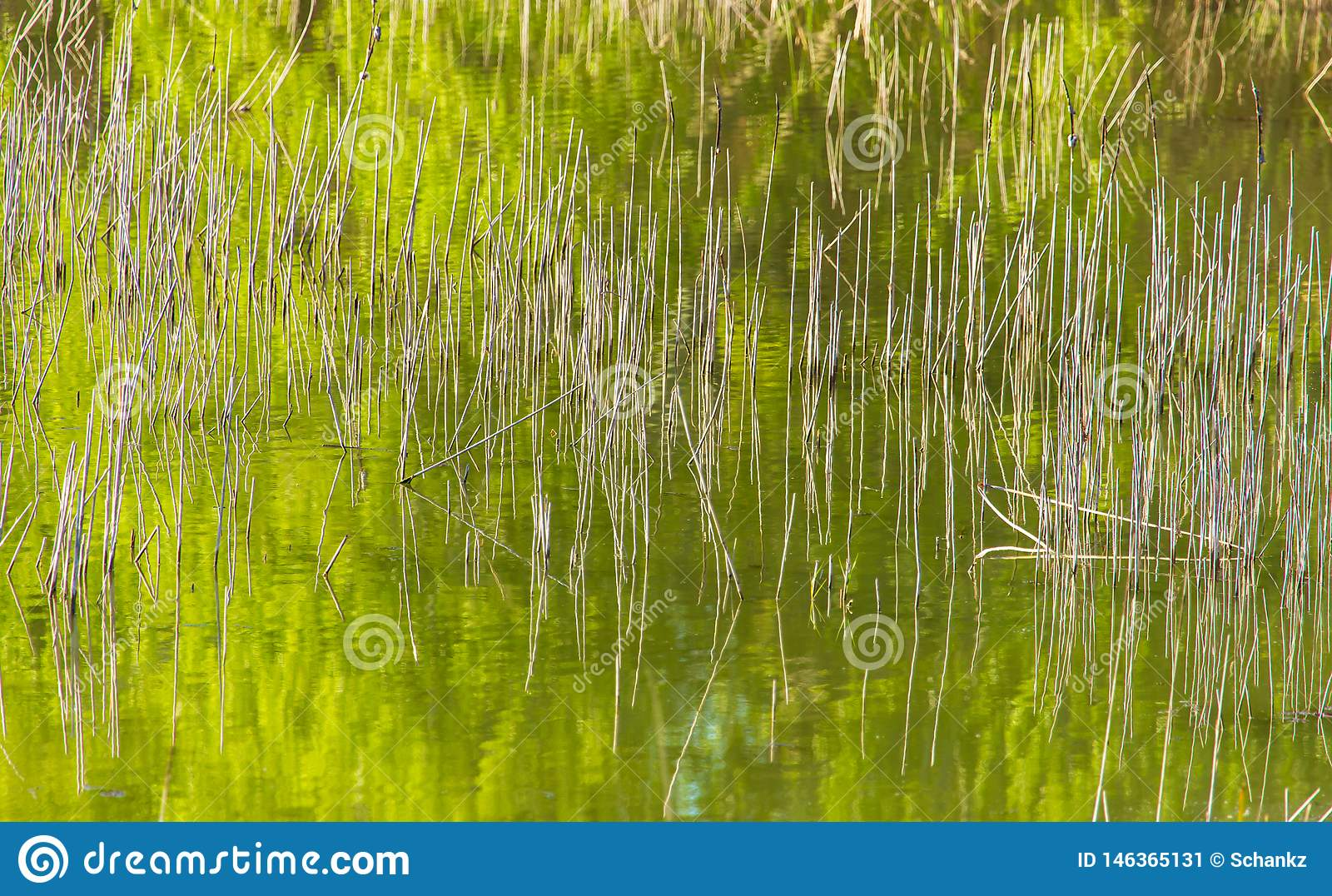 Reed w?chst im Teich als Hintergrund