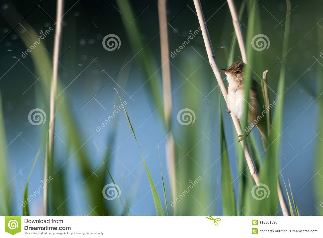 Reed Warbler caché