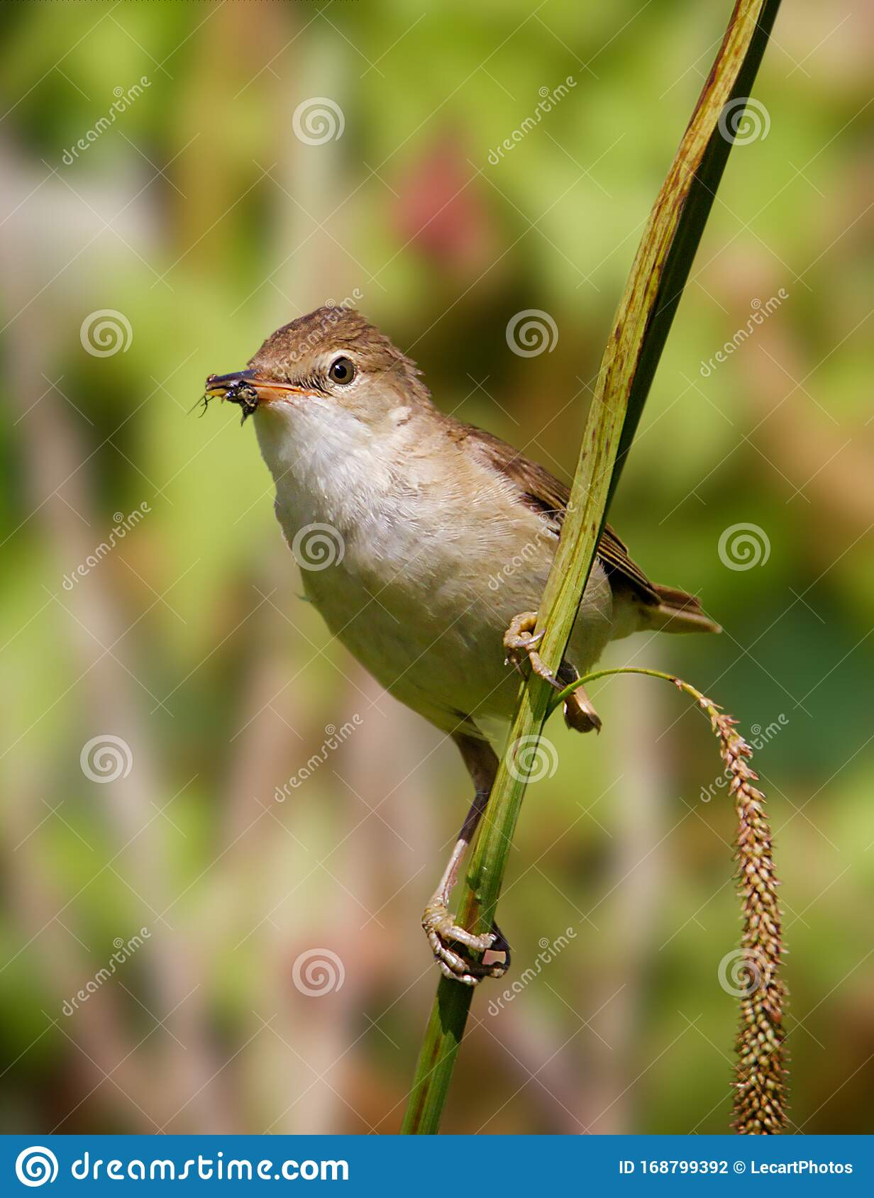 Reed Warbler With Insect On A Reed Stock Photo Image Of Natural Taken 168799392