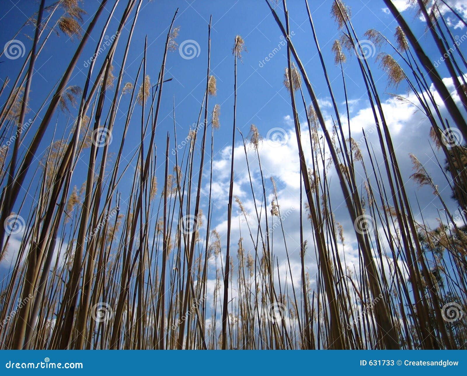 Download Reeds заболоченное место стоковое изображение. изображение насчитывающей природа - 631733