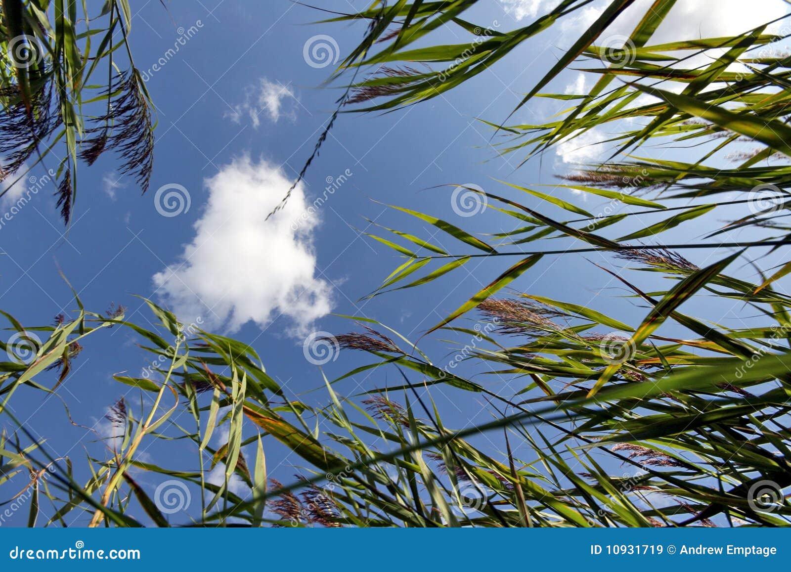 Reeds небо