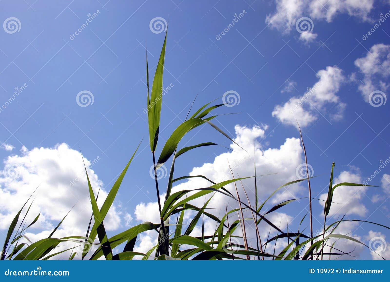 Reeds прозрачное