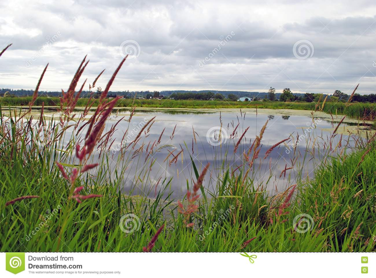 Reeds growing by the pond stock photography image 17559112 for Pond reeds for sale