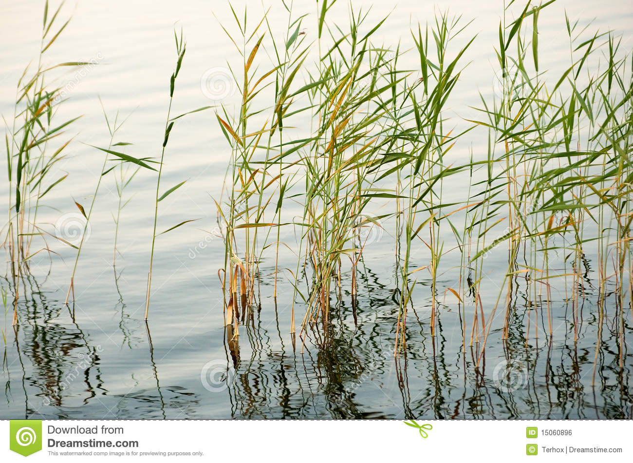 Details of reeds or grass growing in shallow water at a pond or lake.