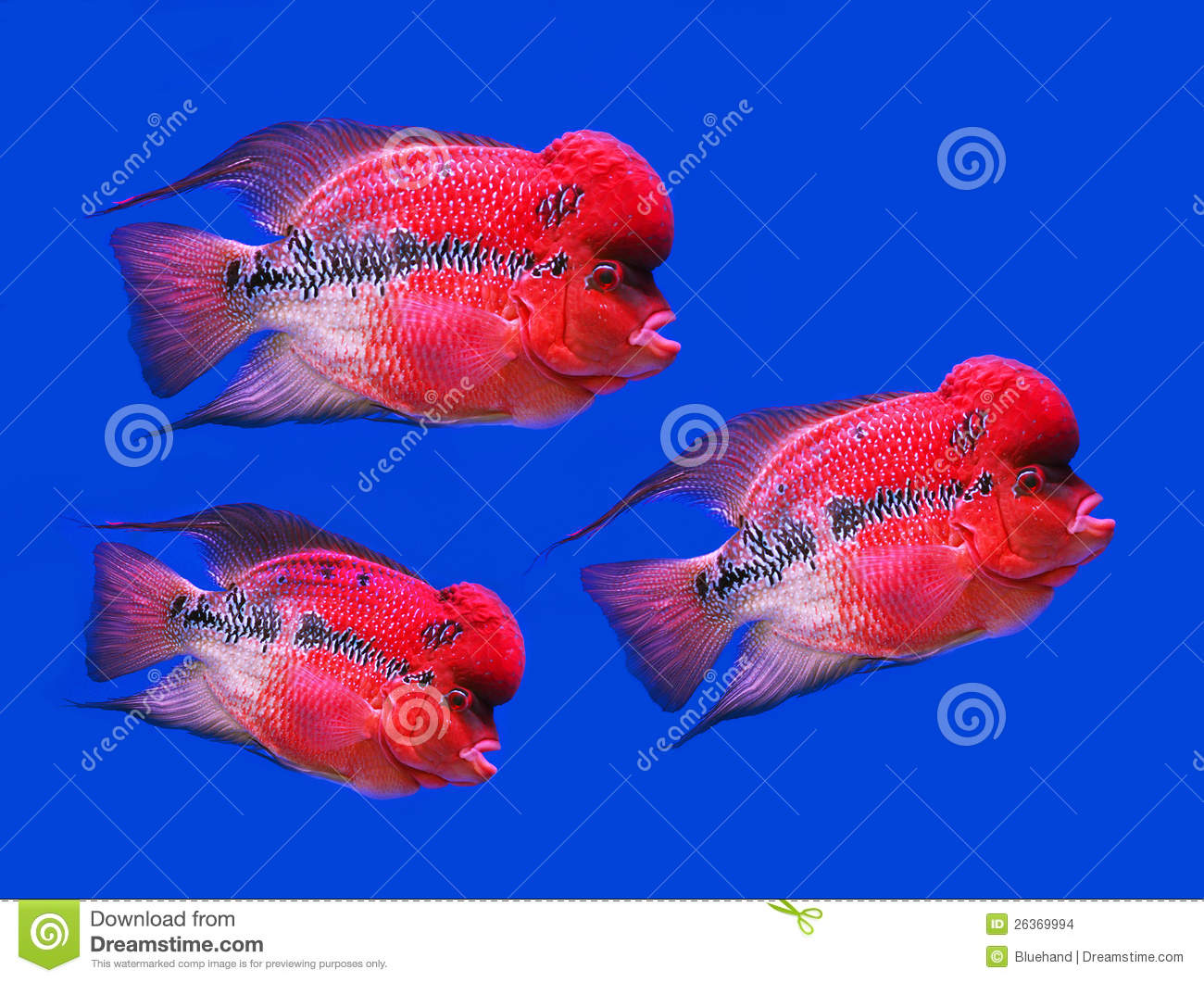 Reef fish blue tangflower horn fish on blue scree stock for Flower horn fish price