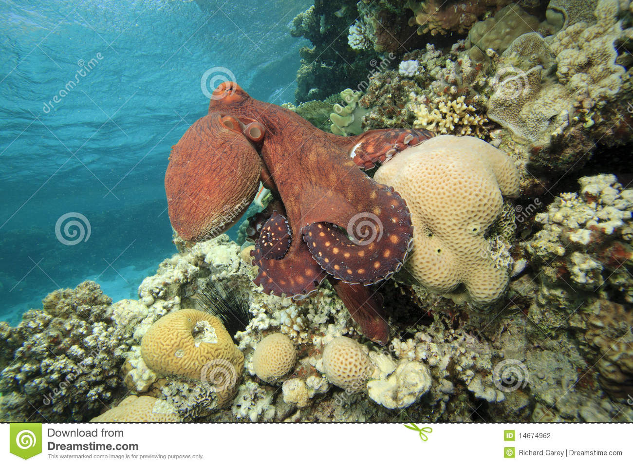 Reef Octopus stock photo. Image of hunt, octopus, aquatic ...