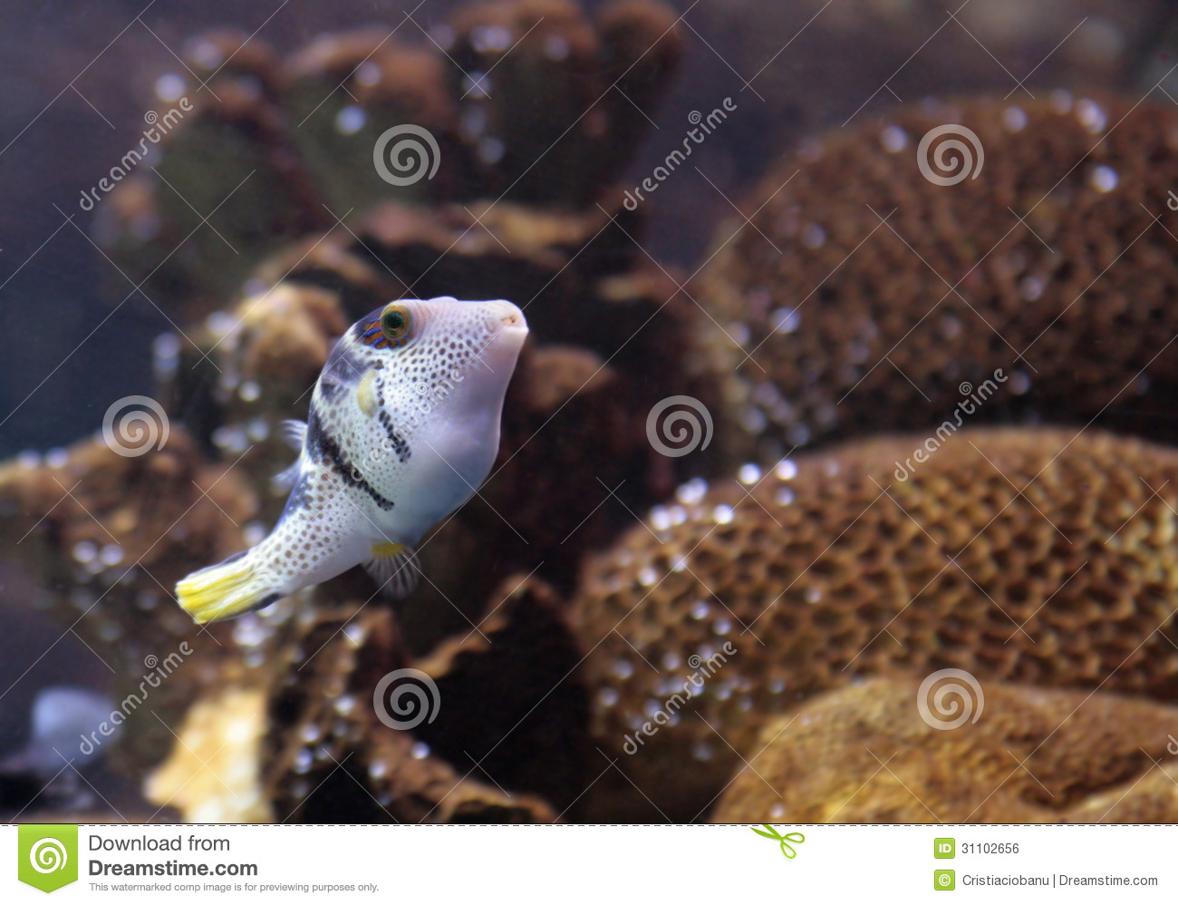 Reef saltwater puffer fish royalty free stock image for Saltwater fish for small tank