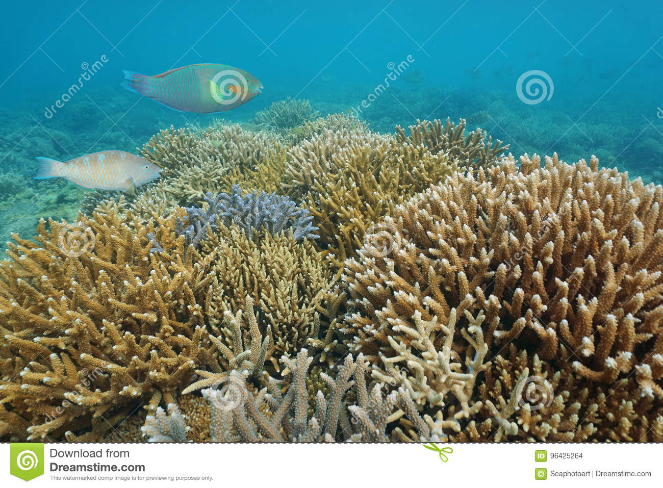 reef staghorn corals underwater pacific ocean stock photo image of
