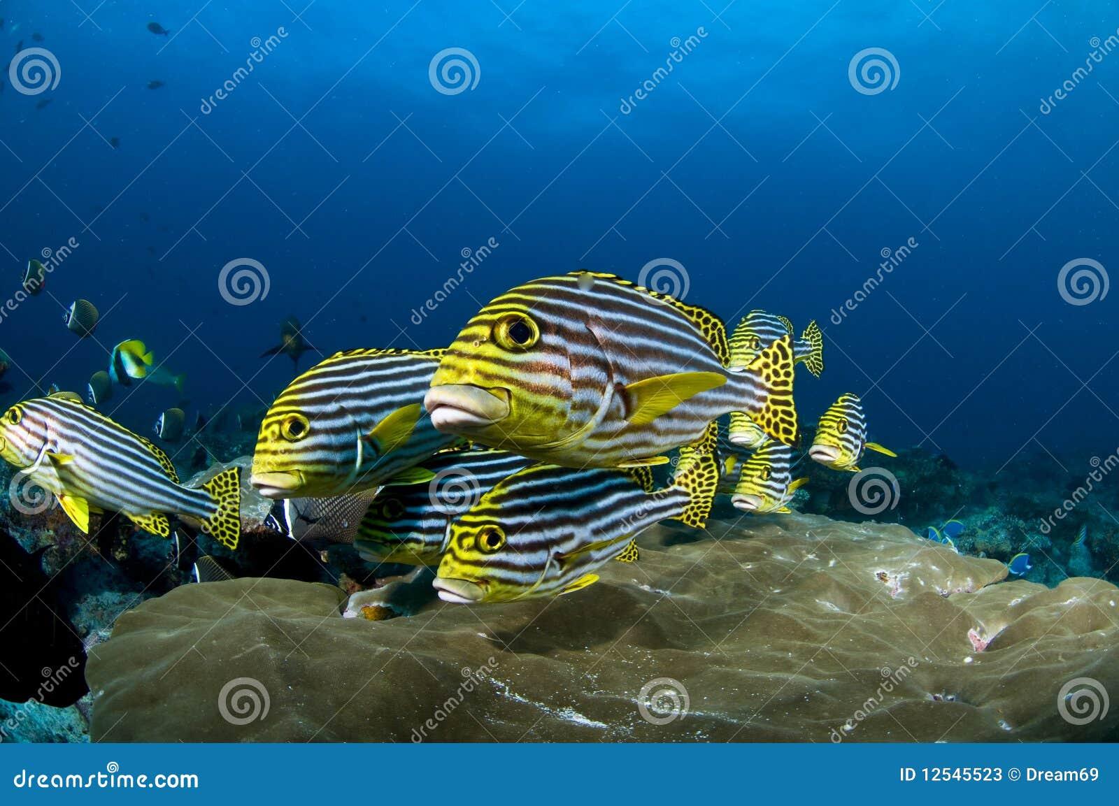 reef and yellow fish indian ocean maldives stock photos image