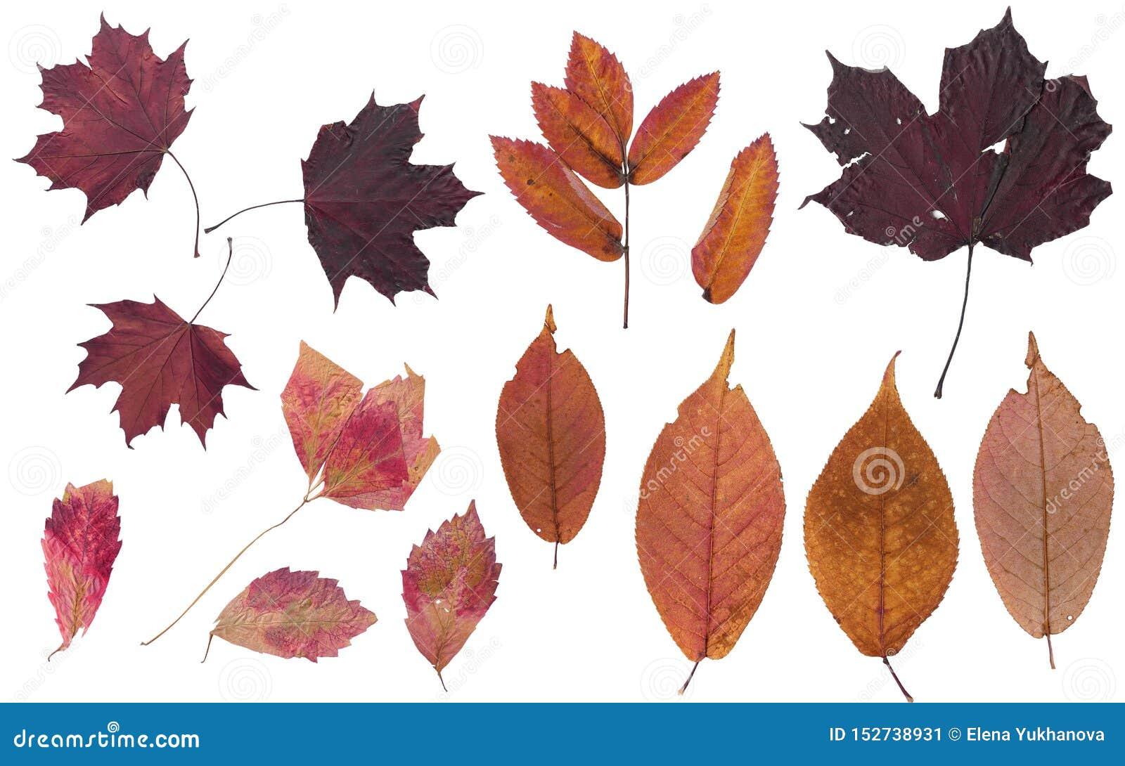 Reeks de herfstbladeren Kleuren van de herfst Herbarium van heldere kleuren