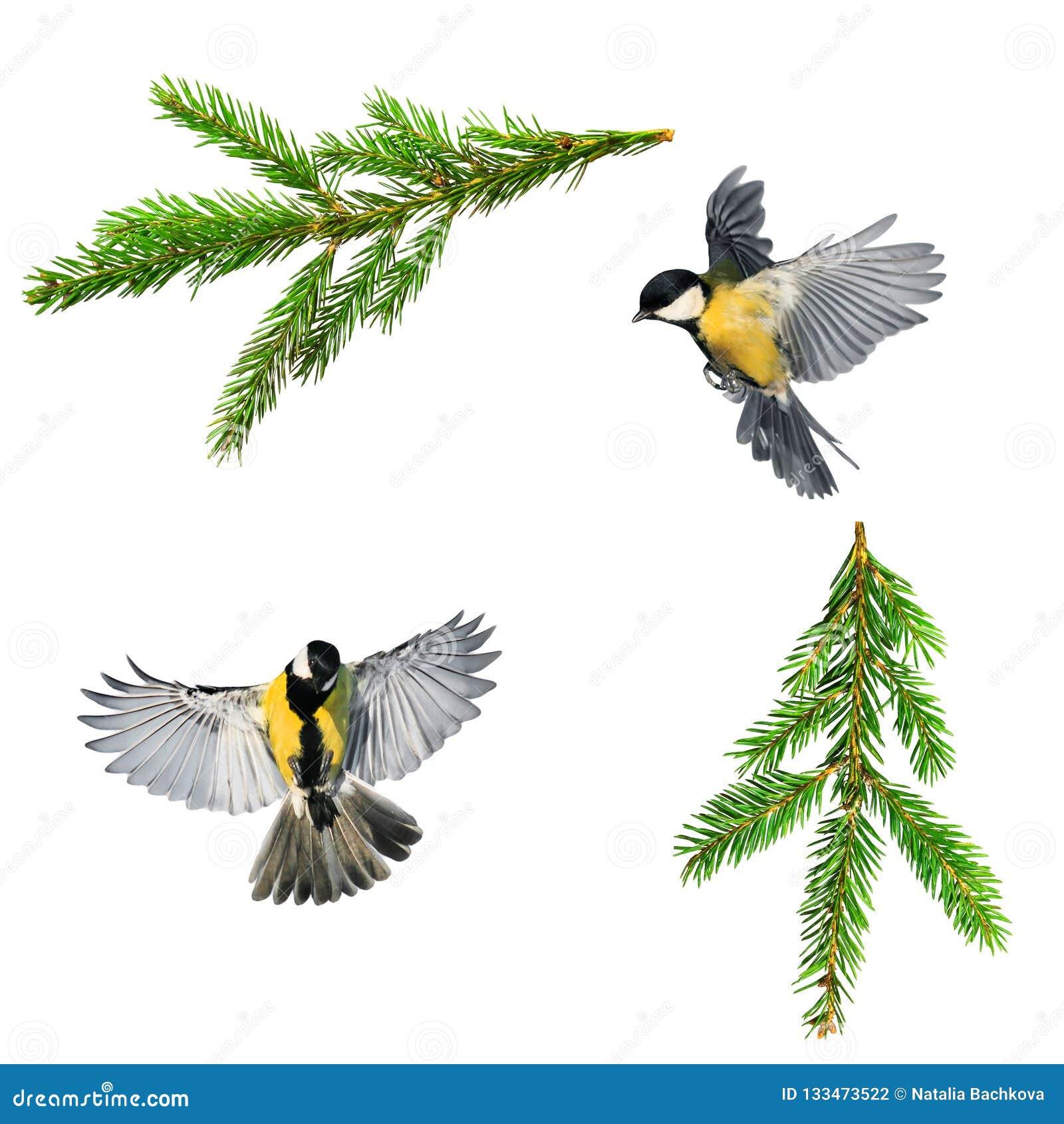 Reeks van de foto s van de Kerstmisvogel van mees en tak van groen net o