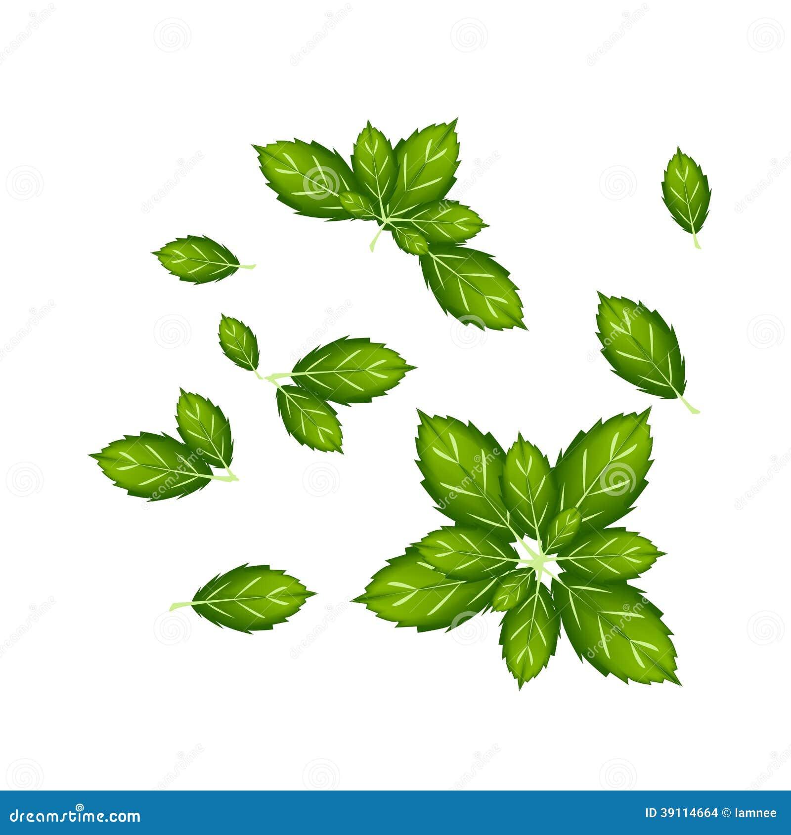 Reeks van Thais Basil Leaves op Witte Achtergrond