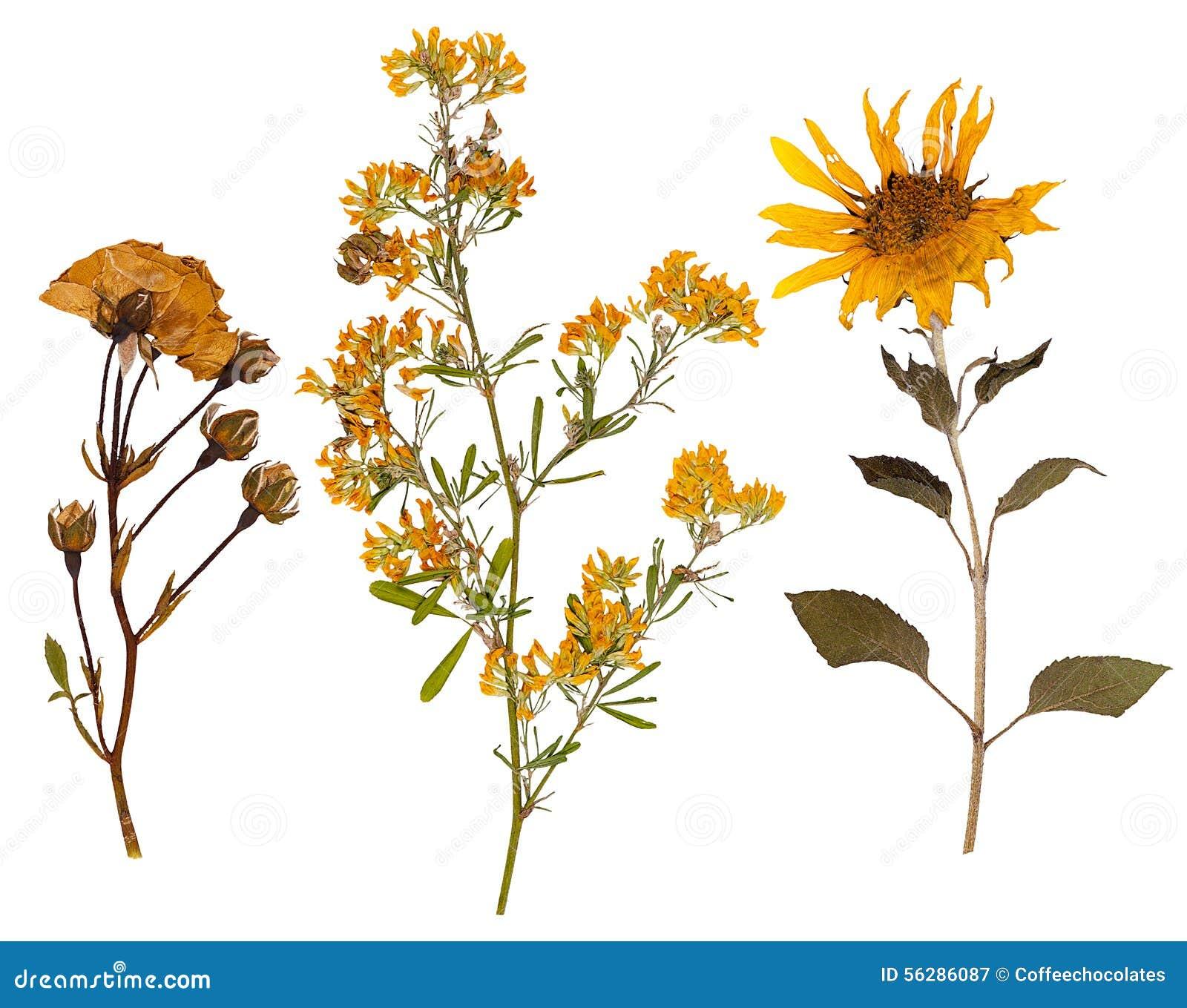 Reeks wilde droge gedrukte bloemen en bladeren