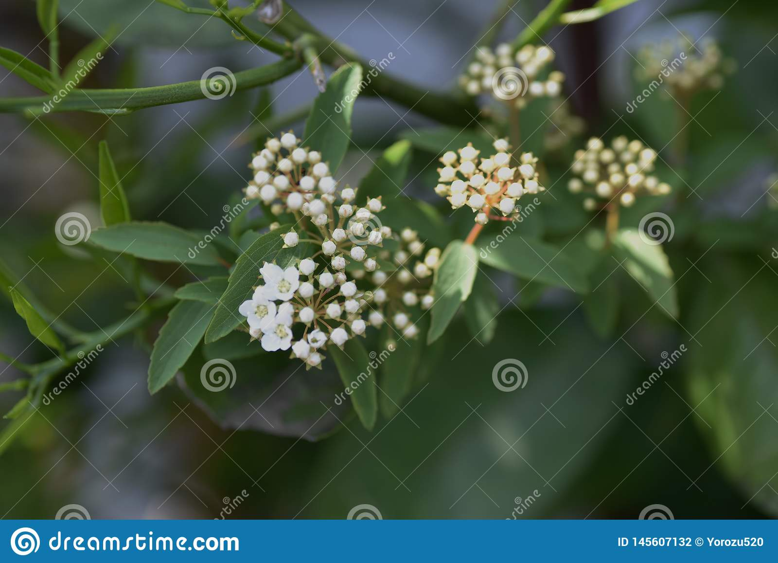 Reeves-spirea Bl?ten