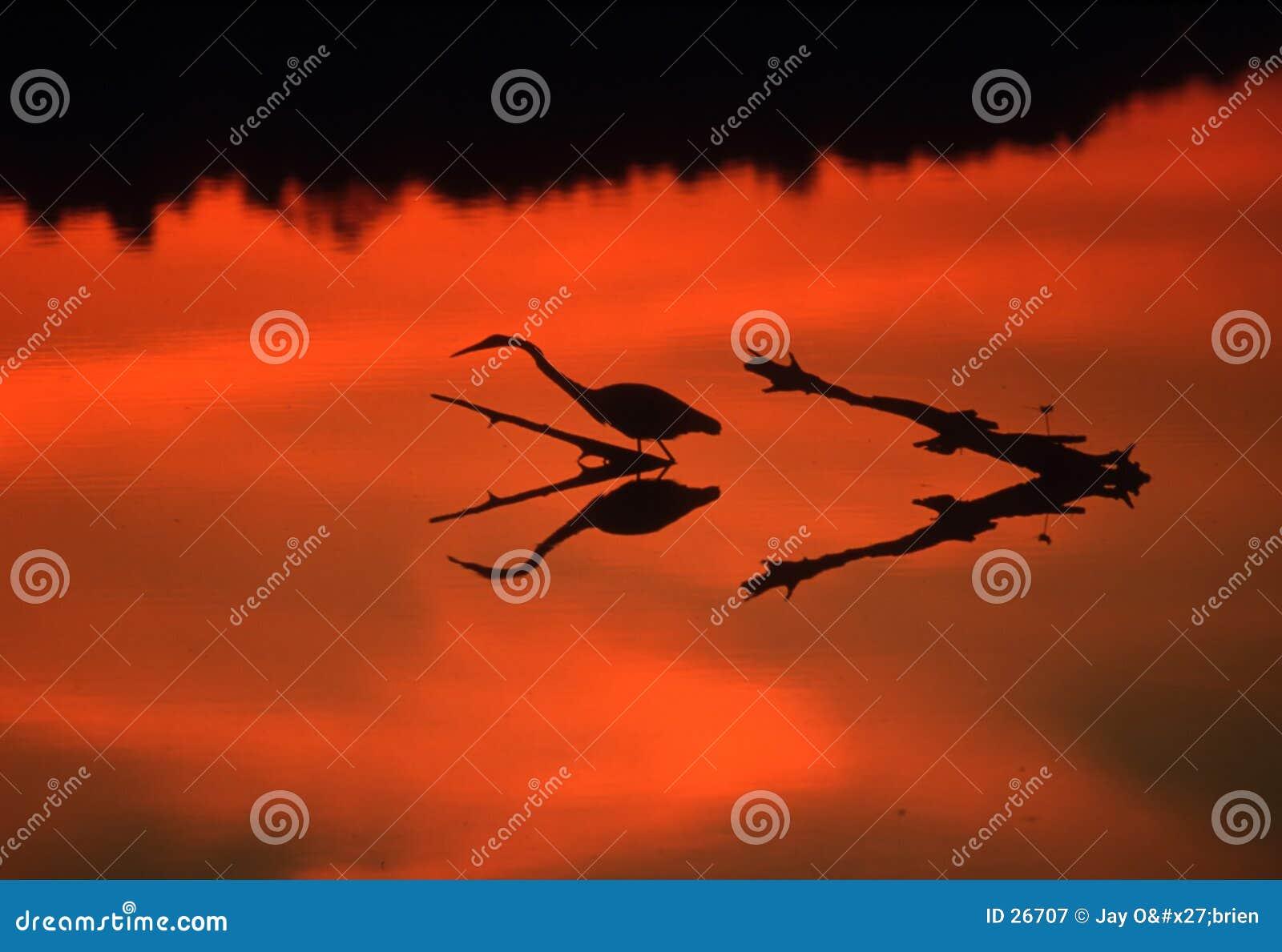 Reflecting Egret