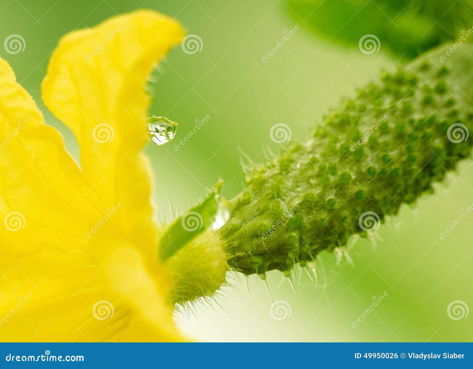 Yellow Flower On Cucumber Ovary Stock Photo Cartoondealer