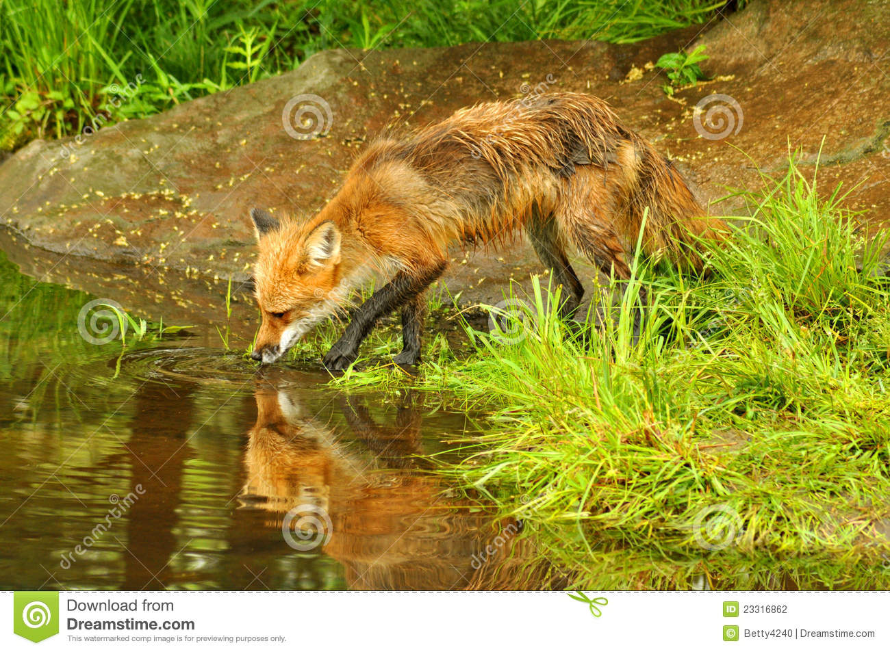 Summer Reflections Collections >> Reflection Of A Lone Red Fox Drinking Water Stock ...