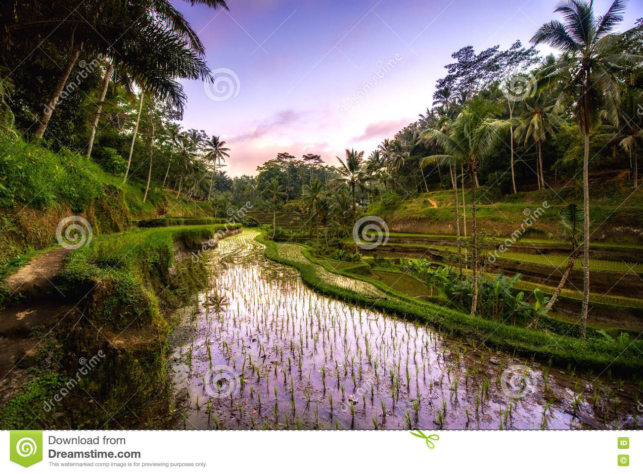 reflection of sunset colors in rice terrace valley in Ubud village, Bali, Indonesia. Agricultural field of rice terraces